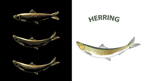 Several contour vector drawings of herring Stock Photo - 4368721