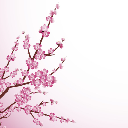 Beautiful cherry tree blossoms against white background.