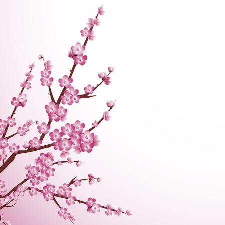 arbol de cerezo: Hermoso �rbol de cerezo en flor en contra de fondo blanco.