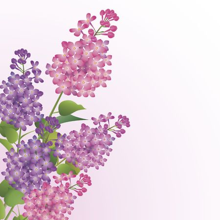 panicle: Bouquet of beautiful lilac blossoms against white background Stock Photo