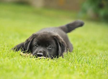 草の上のラブラドール子犬