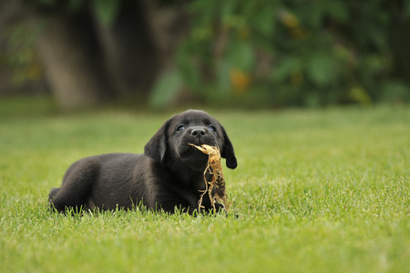 black and yellow: Labrador puppy on the grass Stock Photo