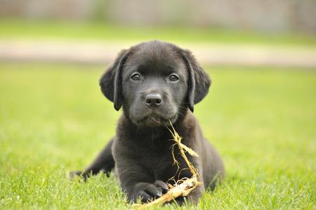 puppy dog: labrador puppy