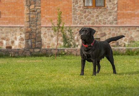 perro labrador: labrador negro Foto de archivo