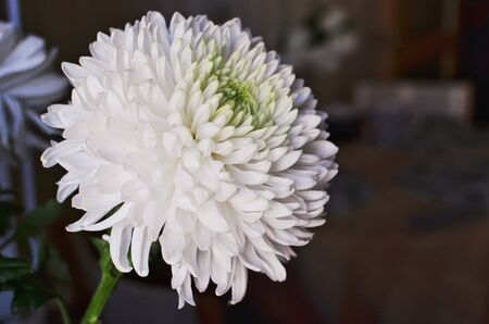 Beautiful White Chrysanthemum ball on Black Background Banque d'images - 132217953