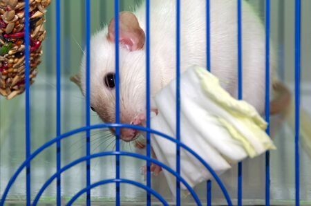 a cute California Siamese rat in a cage stuck his nose through the bars and eats a leaf of Chinese cabbage, salad. focus on the eyes. the concept of pets and their proper nutrition