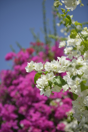 luscious: Bright white flowers on a luscious pink background Stock Photo