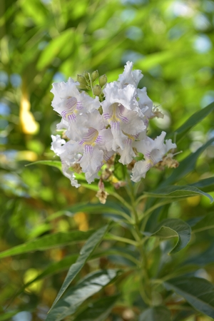 Chitalpa tashkentensis is the only kind of hybrid Chitalpa TS Elias & Wisura family Bignoniaceae Bignoniaceae.