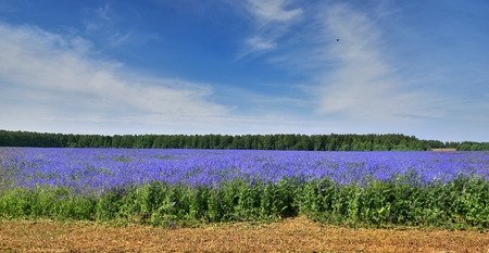 Colorful field of blue plants. The beauty of Russian nature. Фото со стока