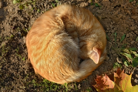 Orange cat, as the soft autumn sun. Sleeping cat and maple leaf. Фото со стока - 62946900