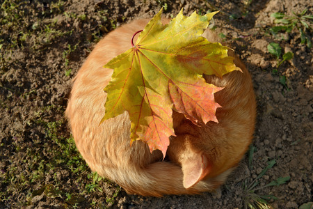 Orange cat, as the soft autumn sun. Sleeping cat and maple leaf. Фото со стока