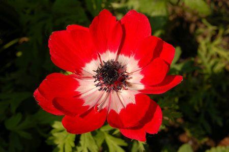 florist: Red flower in full bloom Stock Photo