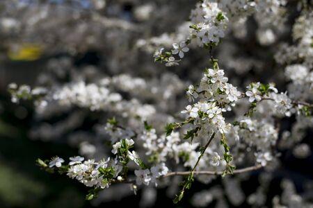 apple tree branch in white color in spring Zdjęcie Seryjne