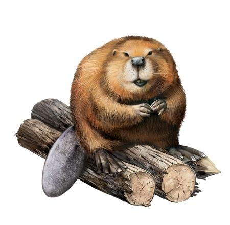 castoro: Beaver adulto seduto su tronchi. Illustrazione isolato su uno sfondo bianco. Archivio Fotografico