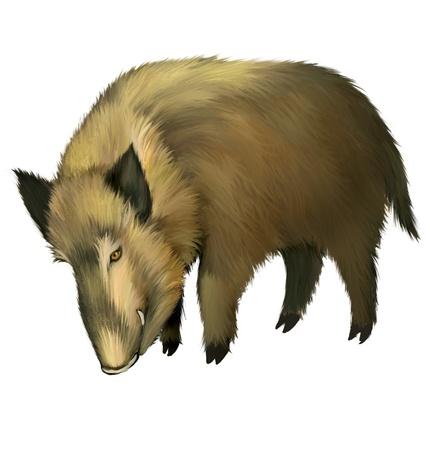 eyes looking down: Boar