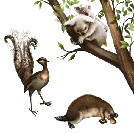 fur trees: Australian animals  koala, platypus and lyrebird