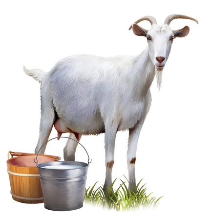 domestic goat: White goat with buckets full of milk  Stock Photo