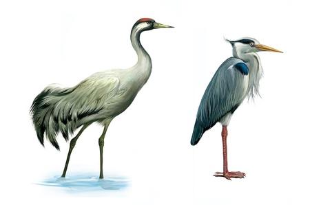 Crane bird  heron  hern  Detailed image of a gray egret wader