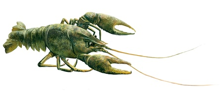 cray: Green Crawfish, lobster