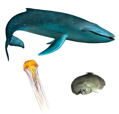 blue eye: Blue whale  Orange medusa, jellyfish and flounder fish