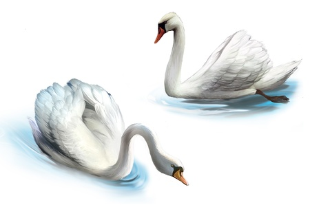 mute swan: Couple of white swans,
