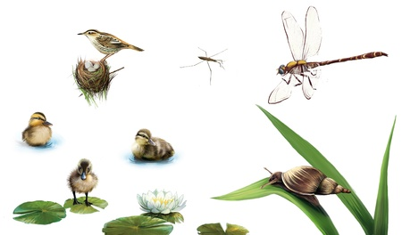 Little ducklings on the water, pond skater, water lily flower, dragonfly, snail on the leaf, bird on the nest