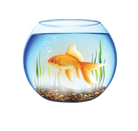 single fin: Gold fish in a Round aquarium with stones and plants  close up view of a fish bowl Stock Photo
