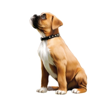 bull dog: Little boxer puppy looking up  Brown arange with white and black collar