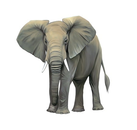An elephant cow standing isolated, Big adult Asian elephant  Front view with big ears Stock Photo