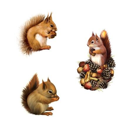 squirrel isolated: Ardilla roja con ca�a, ardilla beb�, la ardilla gris americana, aislados en fondo blanco
