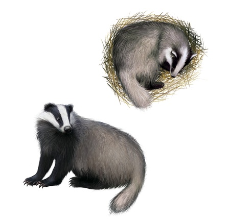 European badger sitting, Slipping badger Isolated on white background