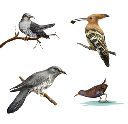 migratory birds: cuckoo on a tree, Hoopoe  Upupa epops  and water bird Isolated illustration on white background  Stock Photo
