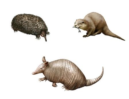 Australian animals  Armadillo, echidna and Otter  Isolated Illustration white background