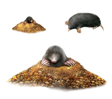 mole: animal Mole in molehill showing claws   Isolated Illustration on white background  Stock Photo