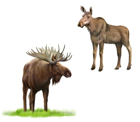 Adult moose with big horns and without, Isolated Illustration on white background