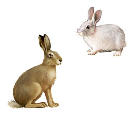 White Rabbit sitting, Gray hare  Isolated illustration