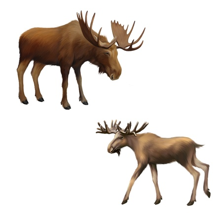 elk horn: Adult moose without horns,  Isolated Illustration on white background