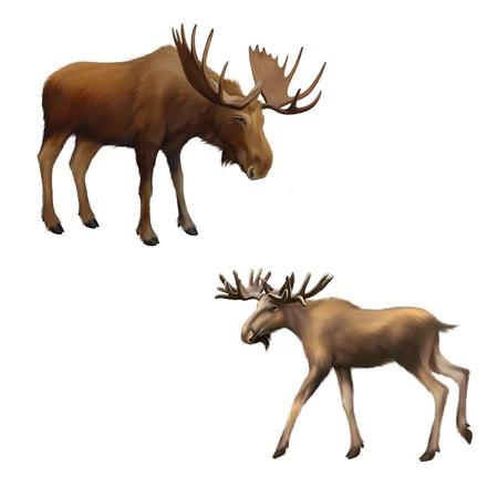 Adult moose without horns,  Isolated Illustration on white background