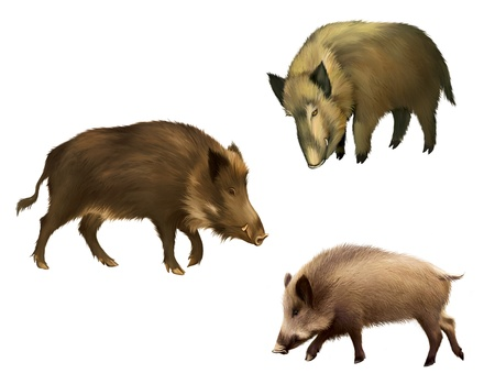 Adult boar  Isolated realistic illustration on white background Stock Photo