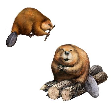 castor: Beaver adulto que se sienta en los registros de ilustraci�n, sobre fondo blanco