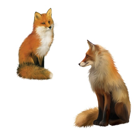 chasing tail: Adult shaggy red Fox sittng with big fluffy tail   Isolated Illustration on white background
