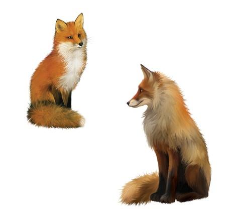 volpe rossa: Adult Shaggy rosso Fox sittng con grande soffice coda illustrazione isolato su sfondo bianco Archivio Fotografico