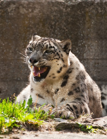 Snow leopard close up in a zoo photo