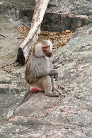 The monkey in a zoo open-air cage, sits on a stone photo