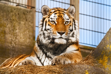 The tiger lies in a zoo open-air cage photo