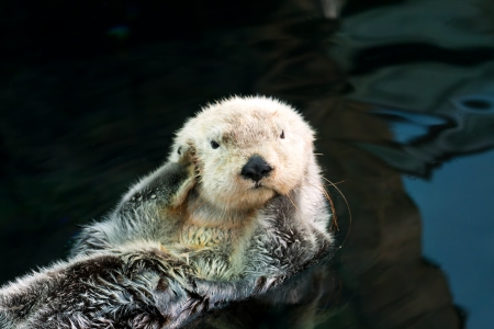 sea otter: Kalan (sea otter) floats on the back and covers his ears paws