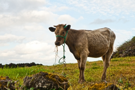 livestock sector: The calf eats a grass against the sky