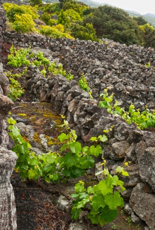 agriculture azores: The way of cultivation of grapes on the Pico Island  has been a UNESCO World Heritage Site Stock Photo