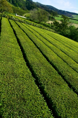 Green tea plantation near tea factory on island Sao Miguel photo