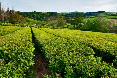 Tea farm on island Sao Miguel, Azores photo